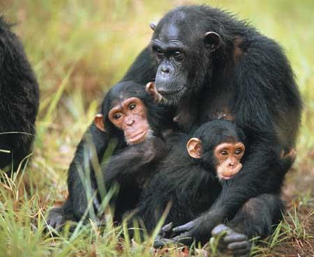 Hosting di un'immagine - Pagina 4 Scimpanze1